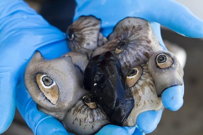 морски охлюви