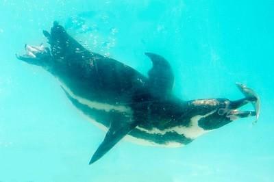 пингвините