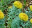 Rhodiola rosea, златовръх, депресия