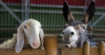 магарета охраняват овце