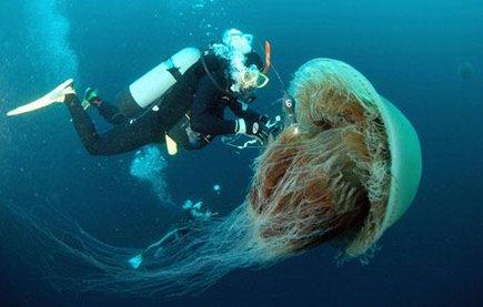 Морски създания, гигантска медуза