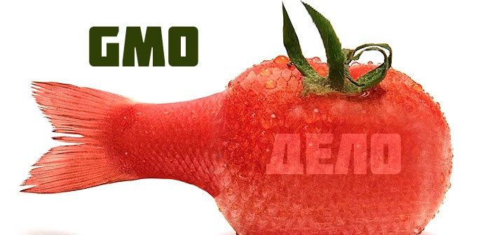 Генномодифициран домат, ГМО