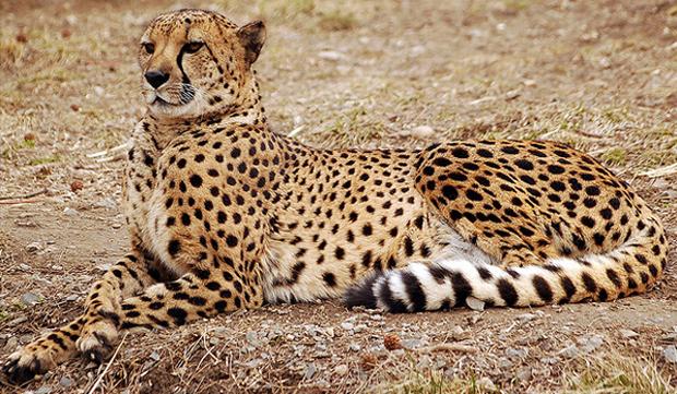 cheetah, гепард