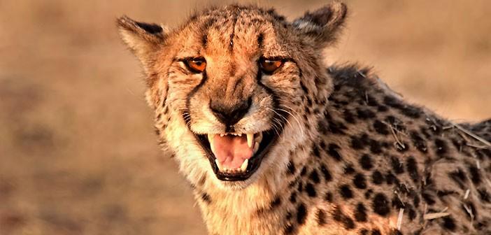 Гепард, Cheetah