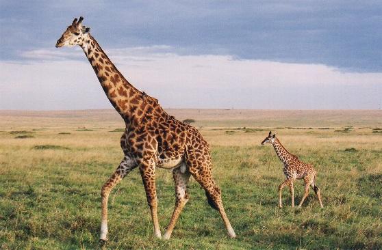 жираф раждане на живо