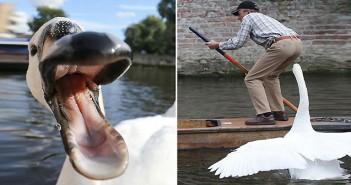 Swan, лебед