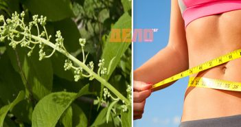 Tripterygium-wilfordii,-китайска-билка,-гроздето-на-Зевс