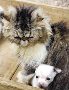 Чудо на природата - котка роди чихуахуа!