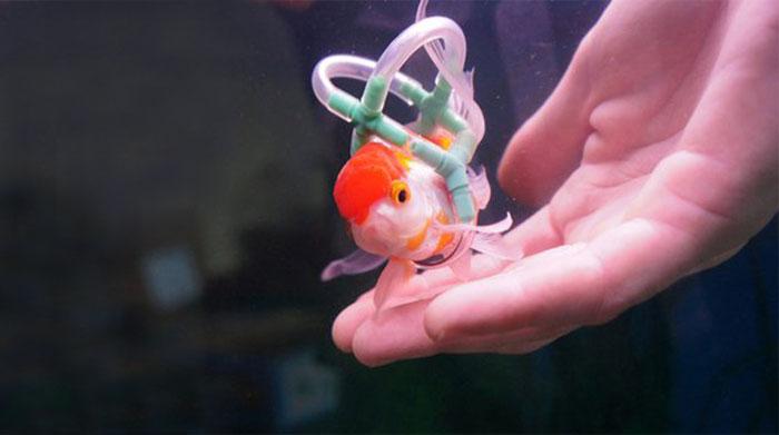 goldfish-wheelchair