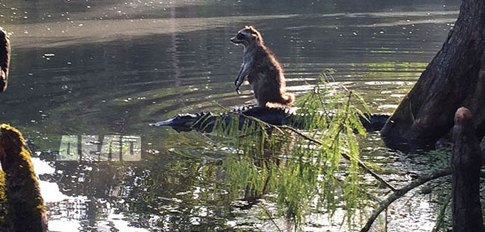 Миеща мечка върху алигатор