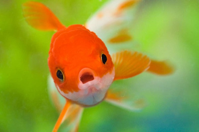 зъбен емайл, люспи на рибизъбен емайл, люспи на риби