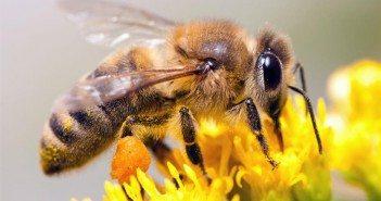 пчели, пчелите