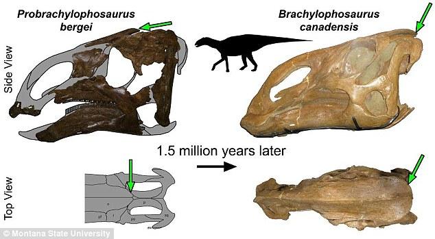 динозавър, Probrachylophosaurus bergei