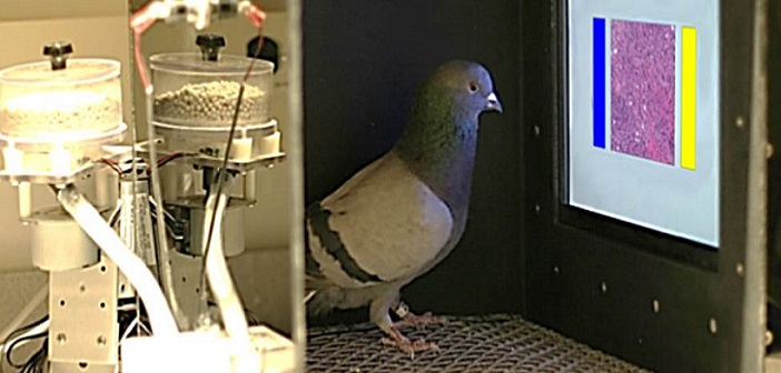 гълъби с точност откриват рак