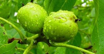 Зелен Орех