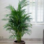палма арека, растения за добър сън