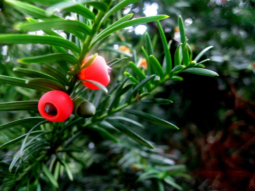 отровни растения - цветя и билки - симптоми и първа помощ