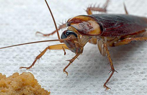 как да се избавим от хлебарки завинаги