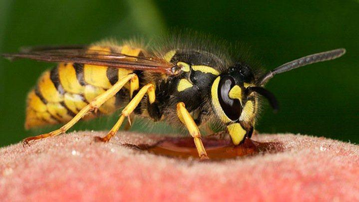пчелите и осите са сред най-опасните животни в България