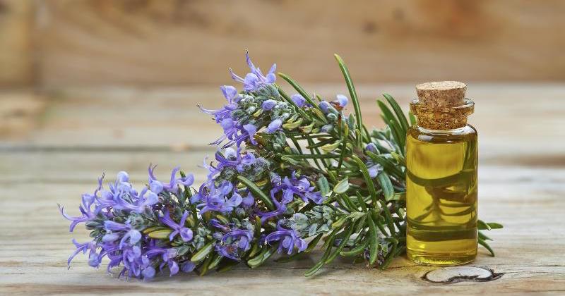 миришете розмарин всеки ден, за да подсилите паметта си