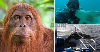 Орангутан се научи да реже с трион, алигатор се качи в лодка на американци, водолаз се сприятели с акула (видео)