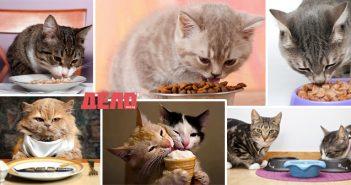 котките трябва да ядат по пет пъти дневно