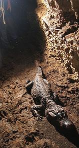 оранжеви крокодили