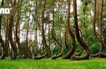 кривата гора